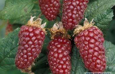 Ничего себе и такое бывает: малоизвестные гибриды фруктов, ягод и овощей